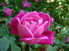 220px-Rosa_chinensis